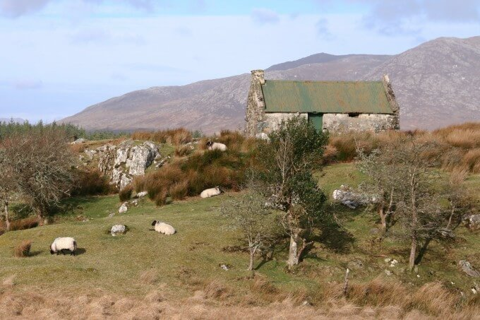 Conamara sheep, enjoying the grass.